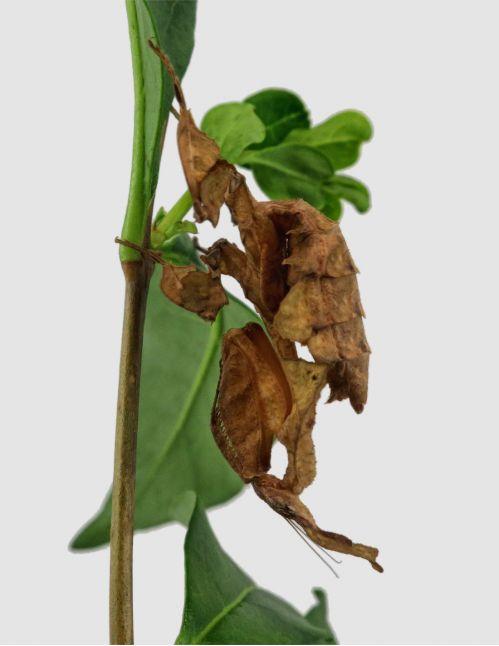 Phyllocrania Paradoxa ♀ Sub adulte