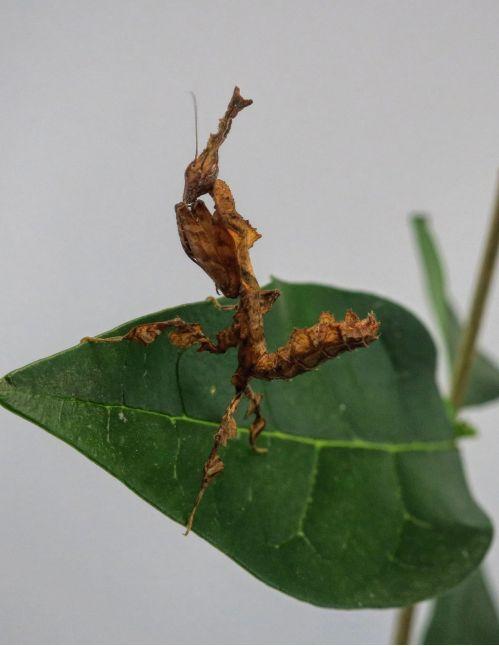 Phyllocrania Paradoxa L5