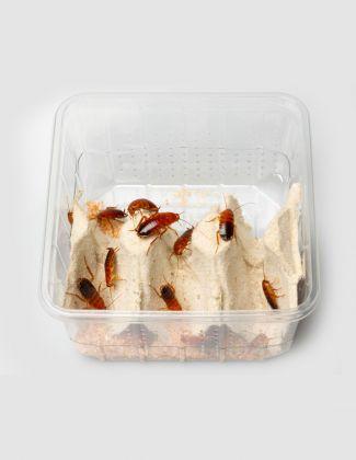 Boîte de Blattes red runner - Blatta lateralis