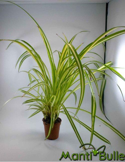 Chlorophyttum Bechetii