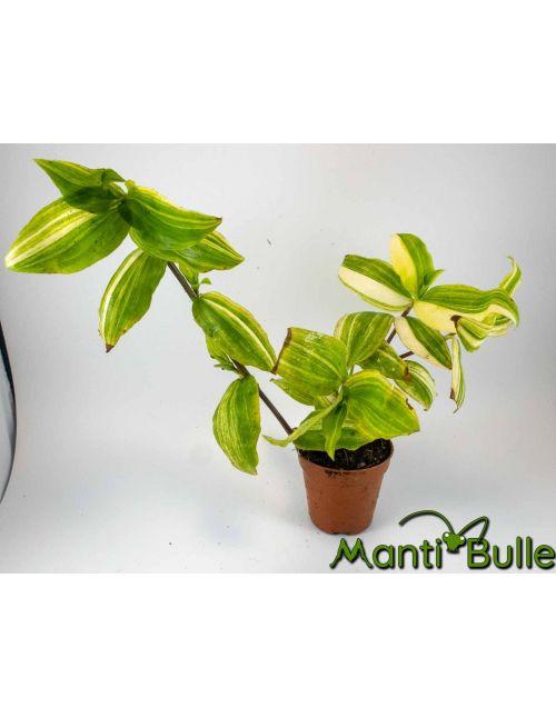 Tradescantia Zebrina verte et jaune | Plante naturelle 1