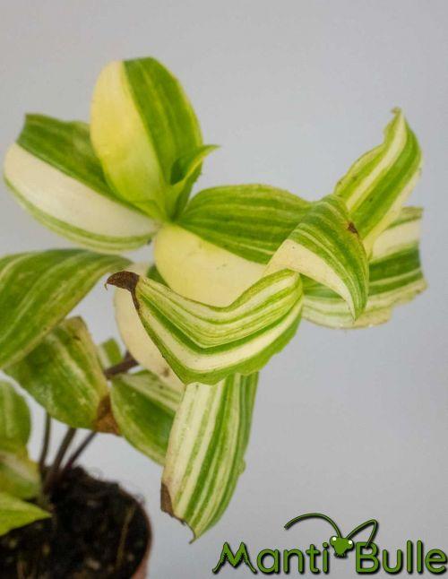 Tradescantia Zebrina verte et jaune   Plante naturelle 2