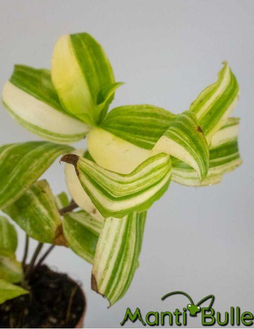 Tradescantia Zebrina verte et jaune | Plante naturelle 2
