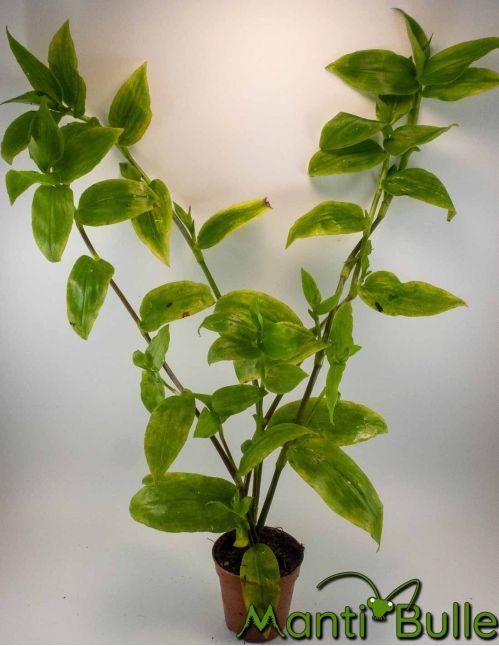 Tradescantia Zebrina Vert | Plante naturelle 1