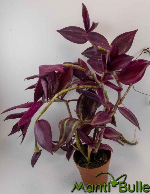 Tradescantia Zebrina rose | Plante naturelle 2