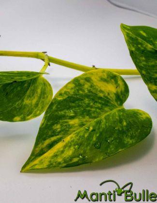 Pothos Scindapsus Aureus | Plante naturelle 2