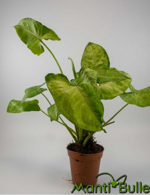 Syngonium Butterfly| Plante naturelle 2