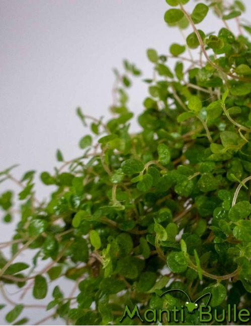 Soleirolia Helixine | Plante naturelle 2