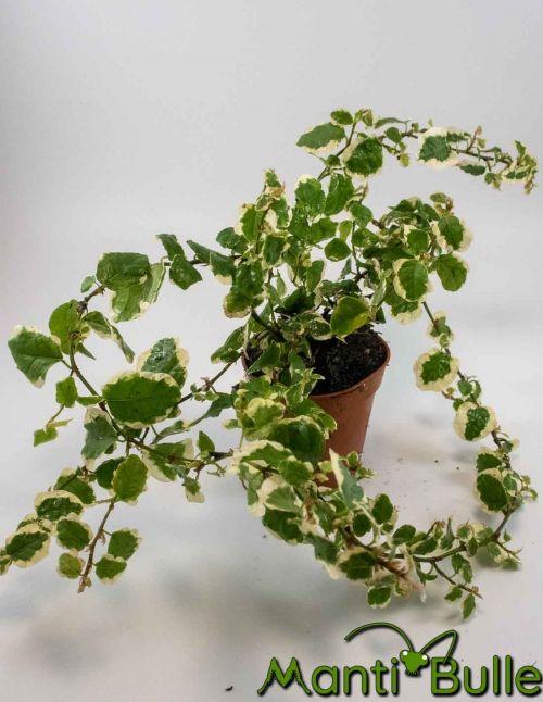 Ficus Pulmilia Repens