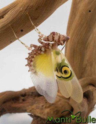 Pseudocreobotra wahlbergi - Mante fleur 1