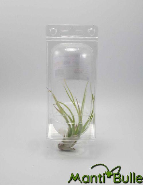 Tillandsia Brachicaulus Velutina   Plante naturelle 2