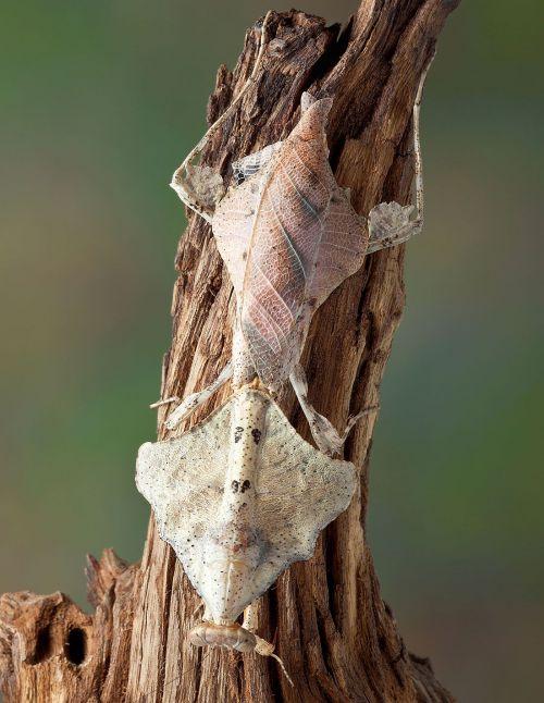 Deroplatys trigonodera - Mante...