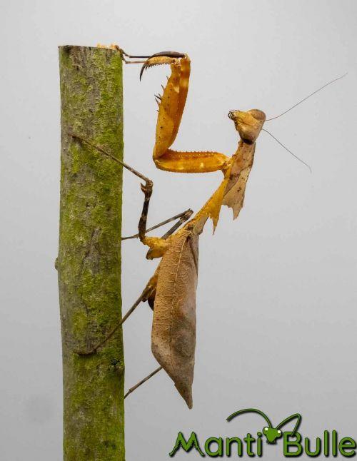 Deroplatys Desiccata - Mante feuille...
