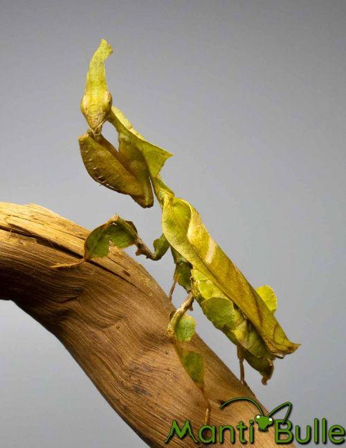 Phyllocrania Paradoxa - Mante fantôme