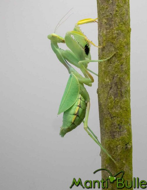 Cilnia Humeralis - Mante à larges bras