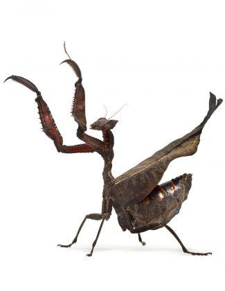 Acanthops erosula - Mante...