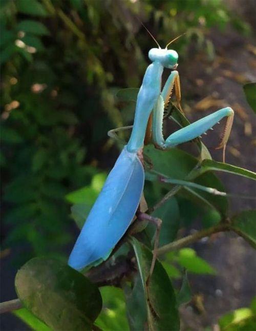 Hierodula sp Papua - Mante bleue de...