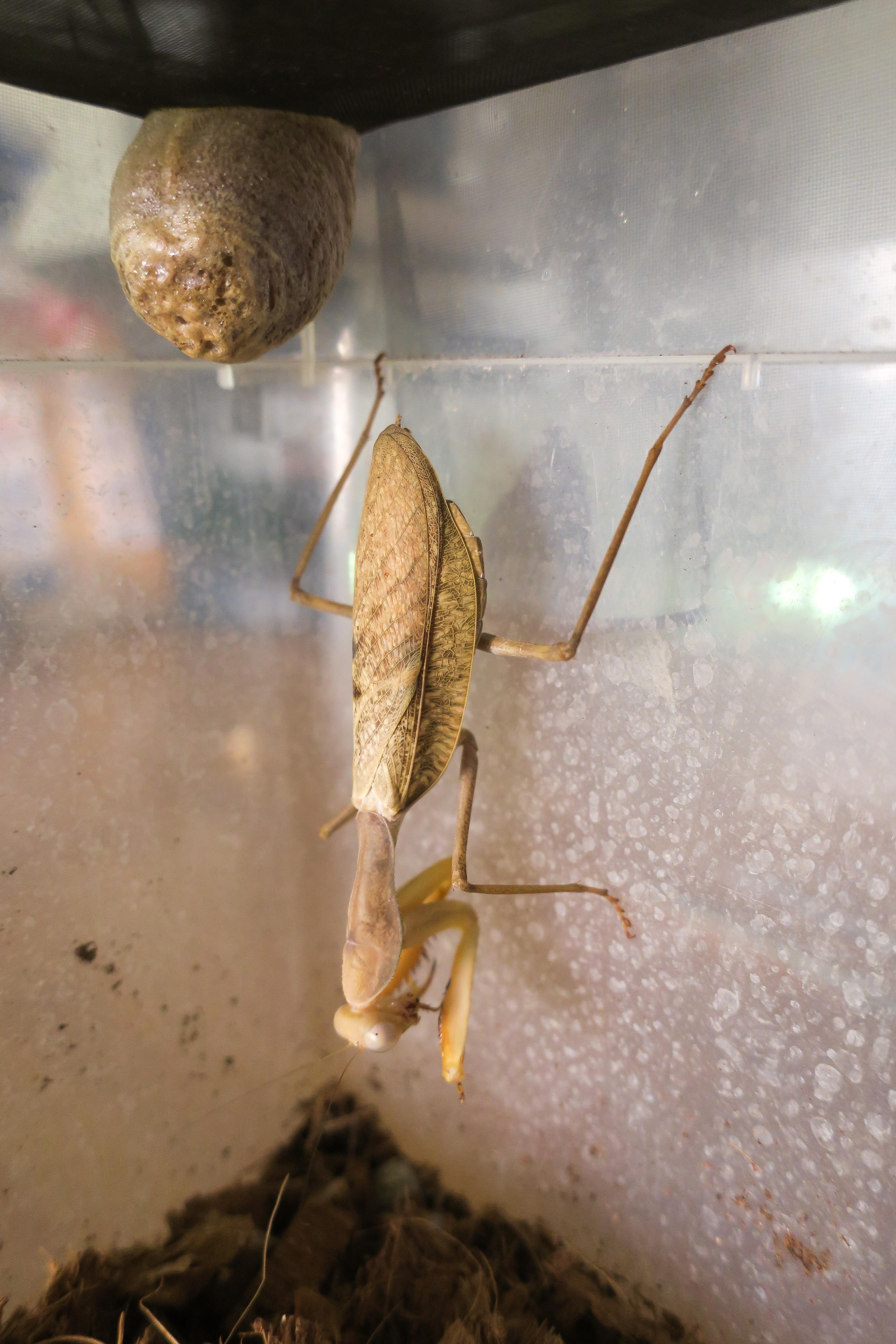 Sphodromantis lineola et son oothèque
