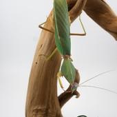 Rombodera Sp. 😍😍 #mantibulle #prayingmantis #mante #mantereligieuse #mantis #insects  #rombodera #romboderabasalis  #leaf  #mantibulle #terrarium #mantids #mantidsofinstagram #mantisreligiosa #orchidmantis #nature #insect #entomology #entomologie #love #instagood #macro #picoftheday #happy #amazing #cute #photooftheday #beautiful