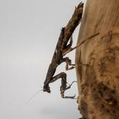 Popa Spurca 😍😍 #mantibulle #prayingmantis #mante #mantereligieuse #mantis #insects  #popa  #popaspurca  #mantibulle #terrarium #mantids #mantidsofinstagram #mantisreligiosa #orchidmantis #nature #insect #entomology #entomologie #love #instagood #macro #picoftheday #happy #amazing #cute #photooftheday #beautiful