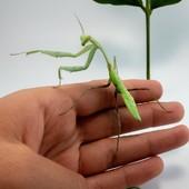 Hierodula membranacea😍😍 MantiBulle.fr #mantibulle #prayingmantis #mante #mantereligieuse #mantis #insects  #hierodulamembranacea  #leaf  #mantibulle #terrarium #mantids #mantidsofinstagram #mantisreligiosa #orchidmantis #nature #insect #entomology #entomologie #love #instagood #macro #picoftheday #happy #amazing #cute #photooftheday #beautiful