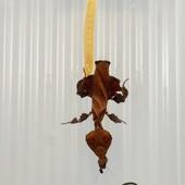 Phyllocrania Paradaoxa - Ghost Mantis ManrtiBulle.fr 😍😍 #mantibulle #prayingmantis #mante #mantereligieuse #mantis #insects  #phyllocraniaparadoxa  #ghostmantis #ghost  #mantibulle #terrarium #mantids #mantidsofinstagram #mantisreligiosa #orchidmantis #nature #insect #entomology #entomologie #love #instagood #macro #picoftheday #happy #amazing #cute #photooftheday #beautiful