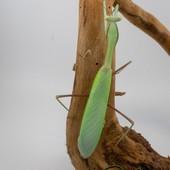 Sphodromantis sp. Blue - Mostly green 😂😂😍😍 #mantibulle #prayingmantis #mante #mantereligieuse #mantis #insects  #deroplatysdesiccata  #leaf  #mantibulle #terrarium #mantids #mantidsofinstagram #mantisreligiosa #orchidmantis #nature #insect #entomology #entomologie #love #instagood #macro #picoftheday #happy #amazing #cute #photooftheday #beautiful