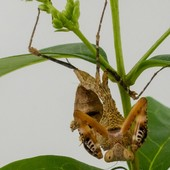 Deroplatys dessicata 😍😍 #mantibulle #prayingmantis #mante #mantereligieuse #mantis #insects  #deroplatysdesiccata  #leaf  #mantibulle #terrarium #mantids #mantidsofinstagram #mantisreligiosa #orchidmantis #nature #insect #entomology #entomologie #love #instagood #macro #picoftheday #happy #amazing #cute #photooftheday #beautiful